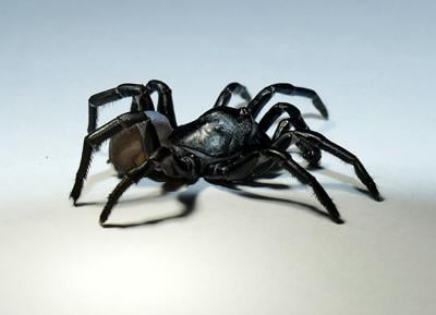 Mysterious, new tarantula-like spider identified in the Florida Everglades