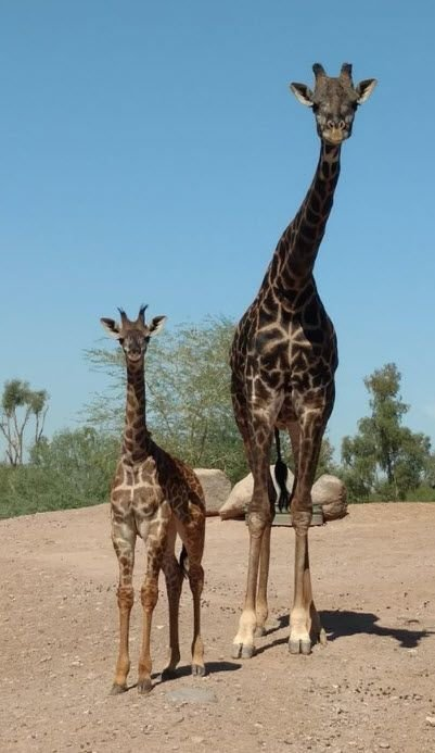 Family photo op! Phoenix Zoo's baby giraffe introduced to dad