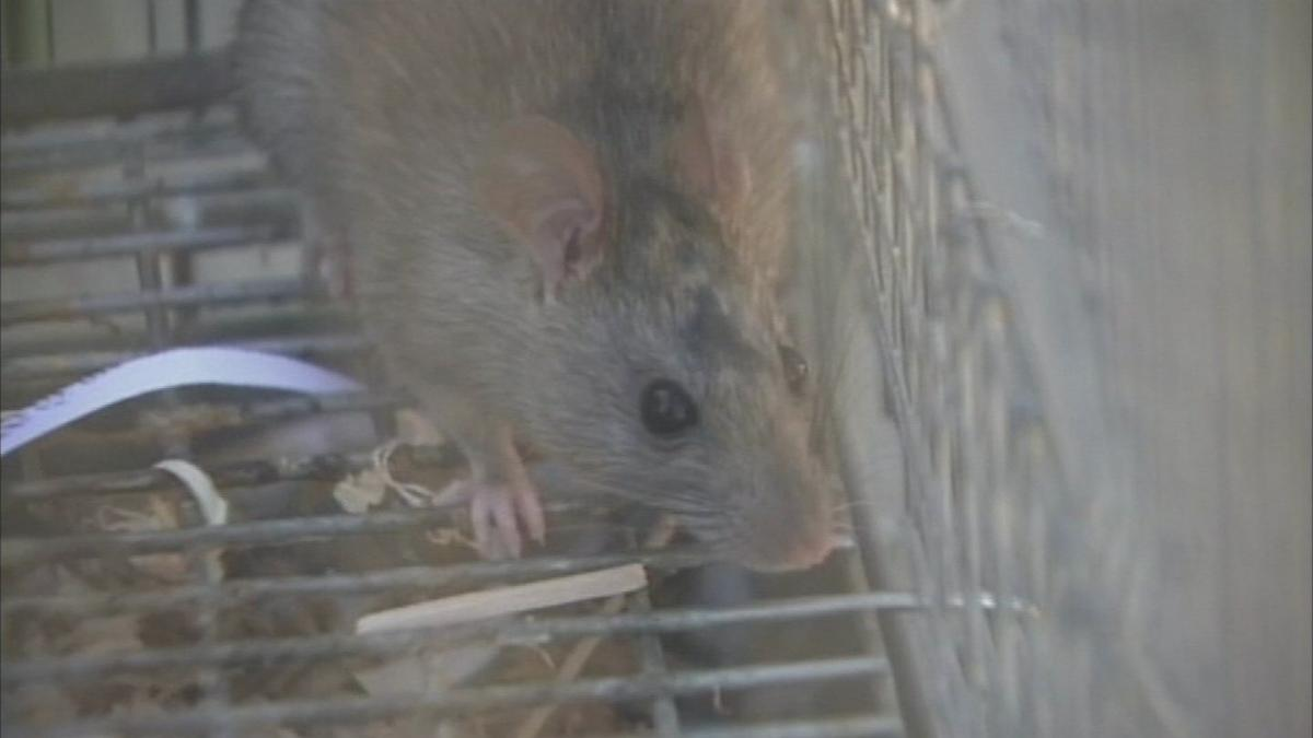Rodents invade Phoenix-area homes as cooler weather moves in