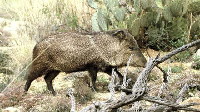 When javelinas attack