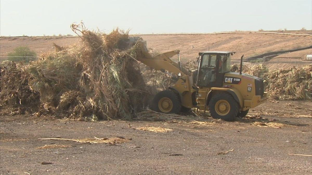 Phoenix palm tree debris has a second life as livestock feed