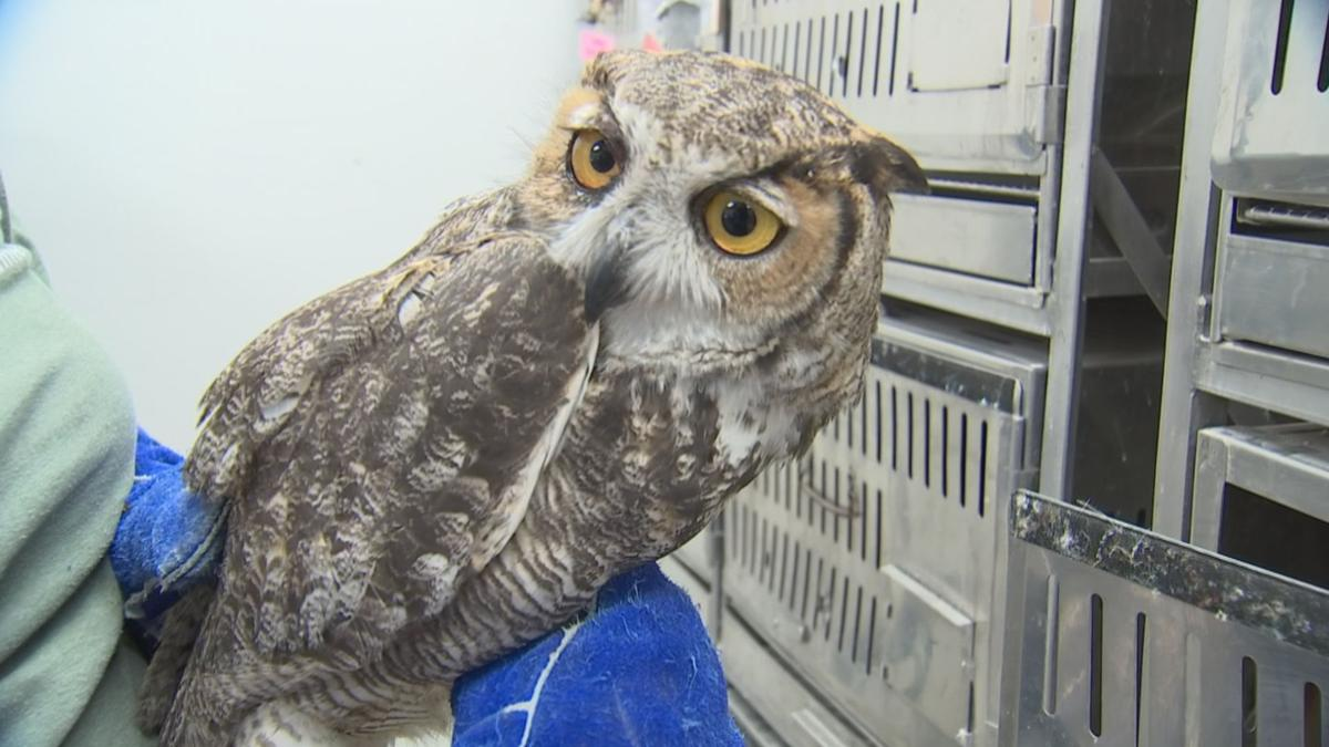 Great horned owl that was stuck in truck grille
