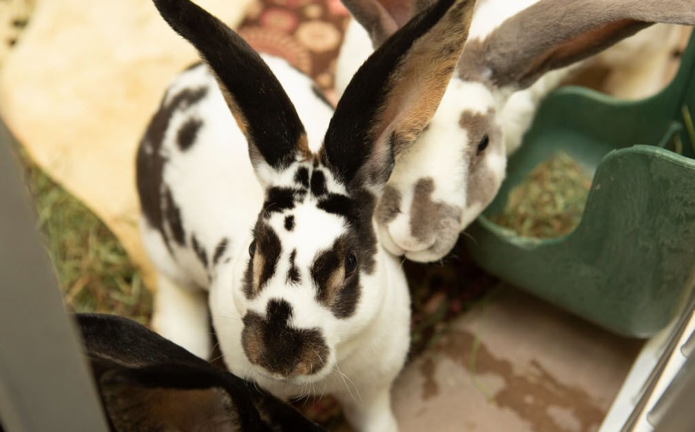 It's suspected that the owner was breeding rabbits as a hobby to sell and to potentially butcher for meat.