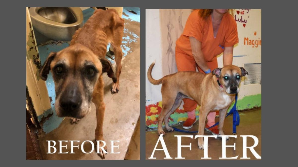 Here is a before and after image of one of the dogs seized