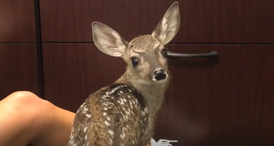 Since the accident, the impressionable young white-tailed deer fawn became dependent on humans for survival and could no longer be released back into the wild.