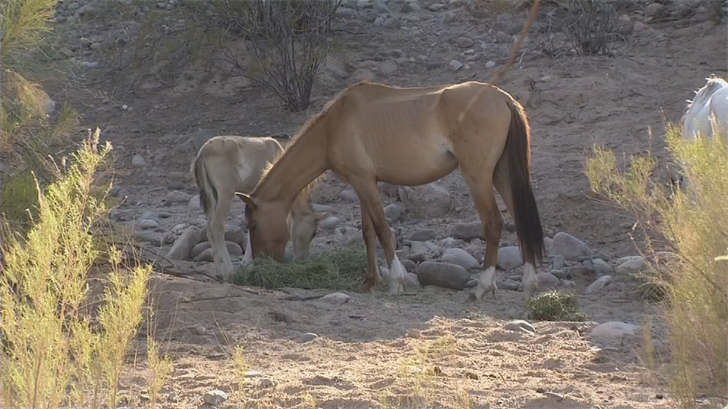 Advocates say Salt River wild horses are starving due to drought