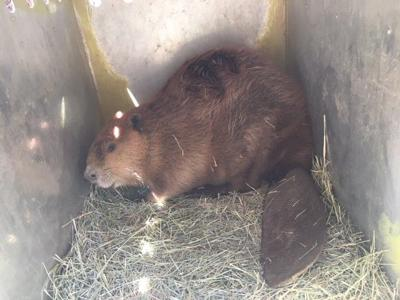 Beaver rescued in Grand Canal by SRP in Phoenix