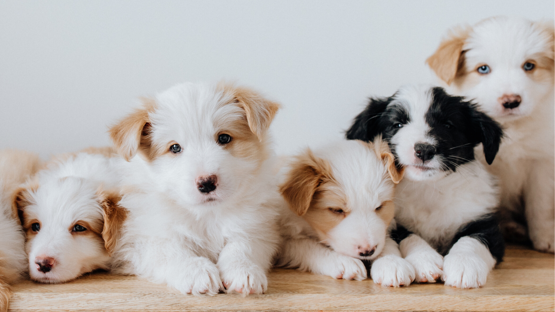 Here are the top 20 most popular dog breeds   US & World News   azfamily.com