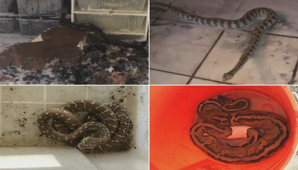 snakes in house.png