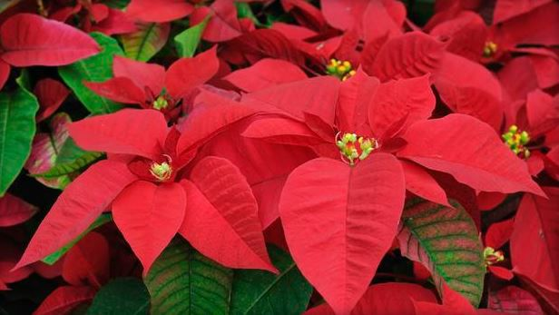 Holiday plants need extra care
