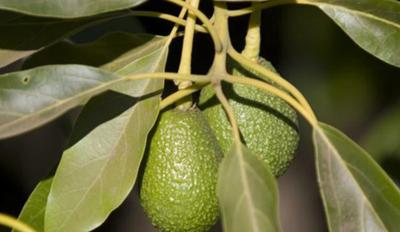 The recalled avocados were packed at Henry Avocado's packing facility in California and distributed in Arizona, California, Florida, New Hampshire, North Carolina and Wisconsin.
