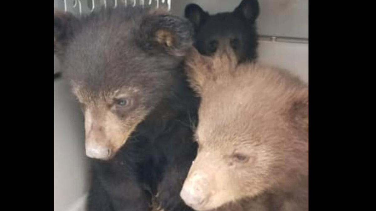 Three bear cubs now orphaned after their mama was killed in a car crash