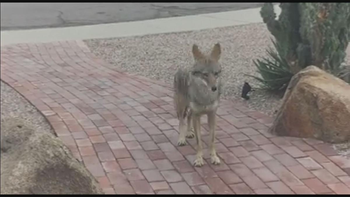 tempe coyote viewer videos 2