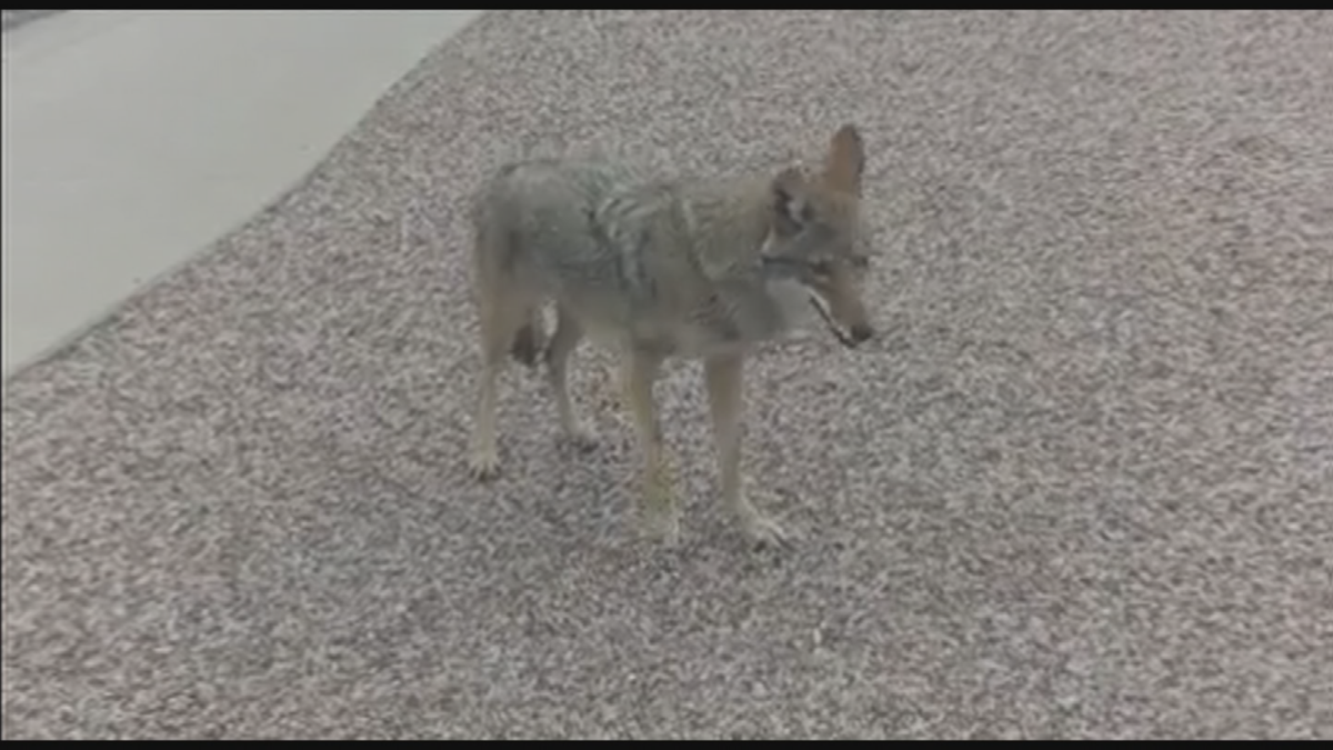 tempe coyote viewer 1
