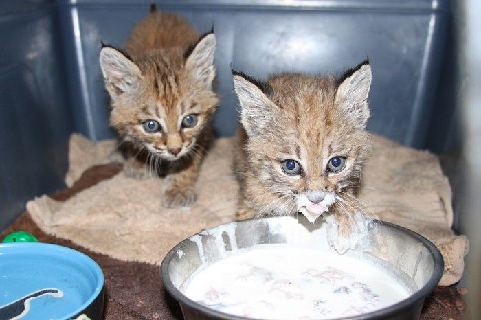 2 bobcats saved in AZ by Scottsdale sanctuary along with 12 animals of Calif.