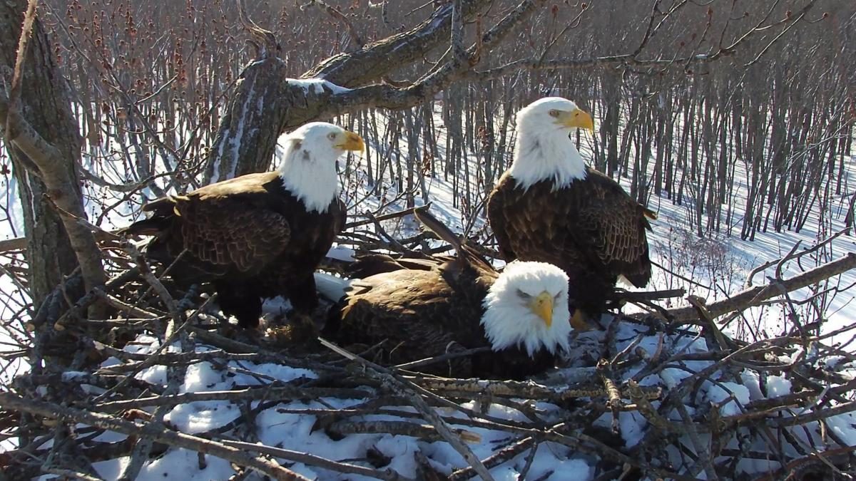 A trio of bald eagle parents -- two males and a female -- are showing that strong families come in all forms