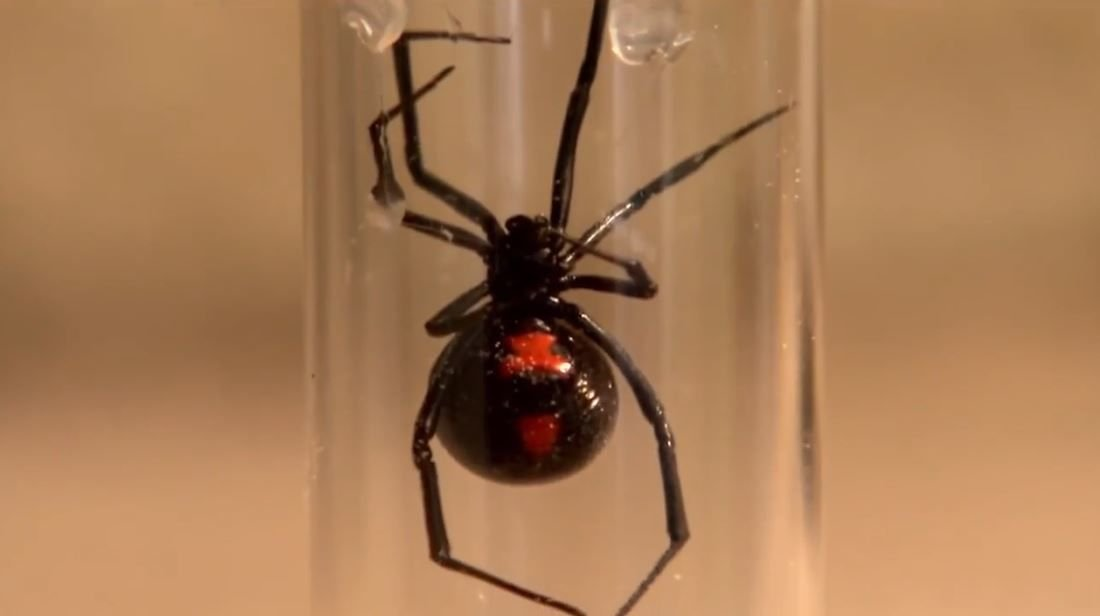Spider Pharm black widow