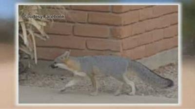 Tempe neighborhood being terrorized by foxes