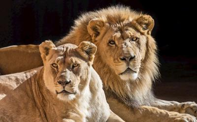 L.A. Zoo's African lions Hubert and Kalisa were euthanized after age-related health problems