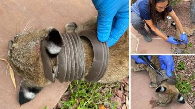 Bobcat trapped in pipe