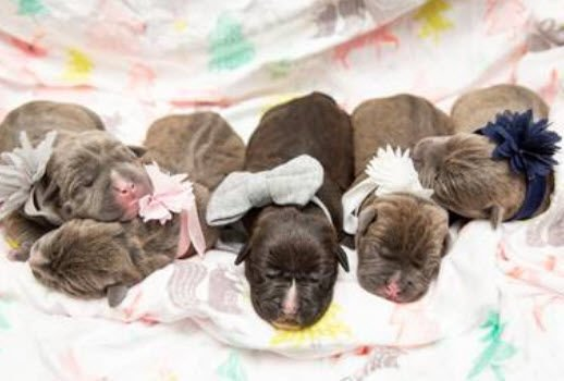 The pups will be ready for adoption in 8-9 weeks.