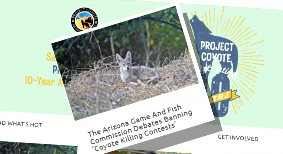 coyotee killing contest.png