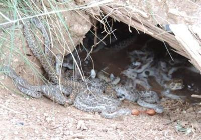 Nest of baby rattlesnakes found at McDowell Mountain Park