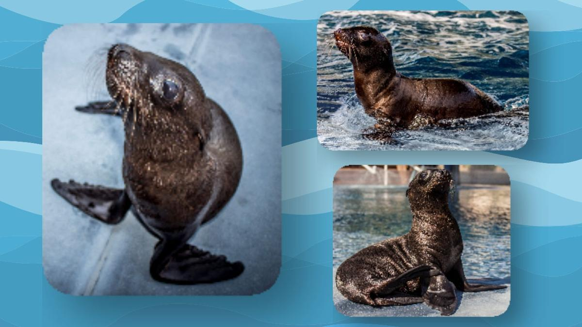 Baby sea lion at Wildlife World Zoo needs a name