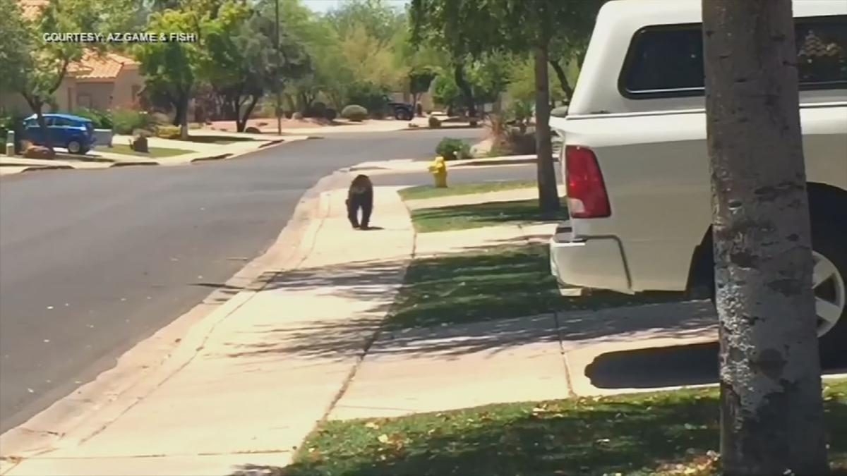 AZ Game & Fish predicts more bears will visit the Phoenix area