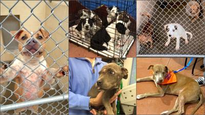 Maricopa County Animal Care and Control dogs