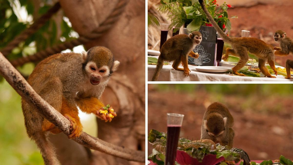 Squirrel monkeys eat at FEAST FOR THE BEASTS