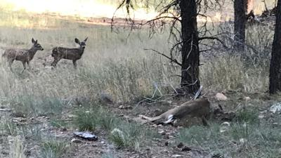 Arizona Game and Fish Department rescues deer trapped in fencing in Flagstaff