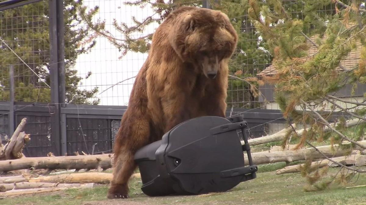 Bears put Prescott company's 'bear-proof' trash cans to the