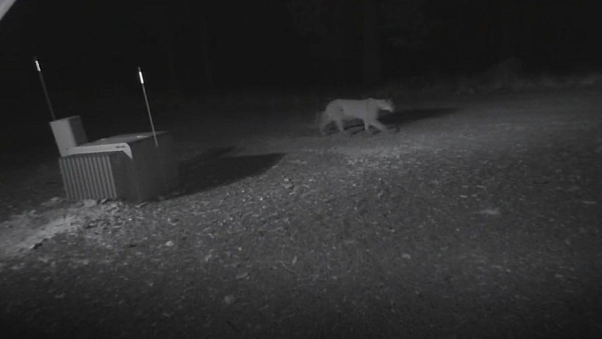 BIG KITTY: AZ mountain lion spotted on security cam