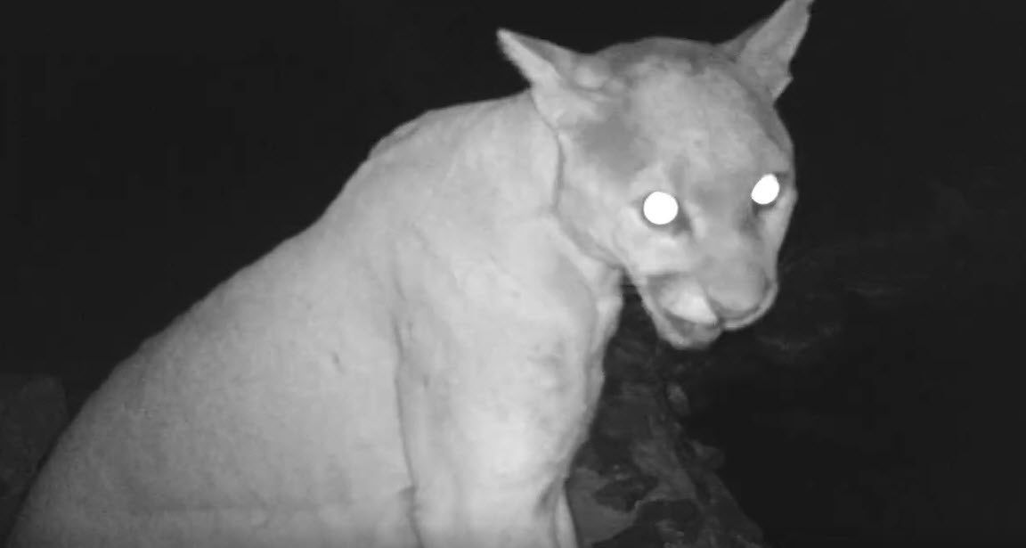 CAUGHT ON CAMERA: Mountain lion seen in Cave Creek conservation park