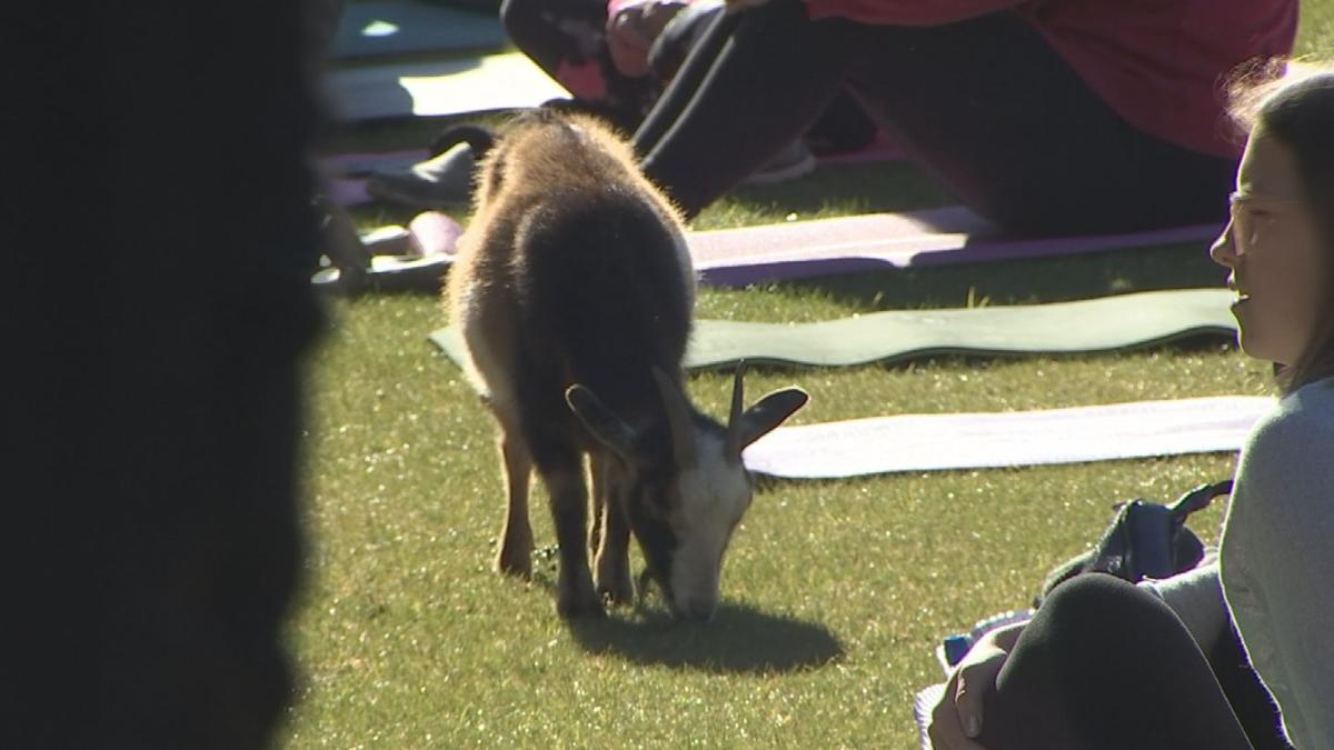 GOAT YOGA WORLD RECORD 022319 MAS  RAW_frame_7242.png
