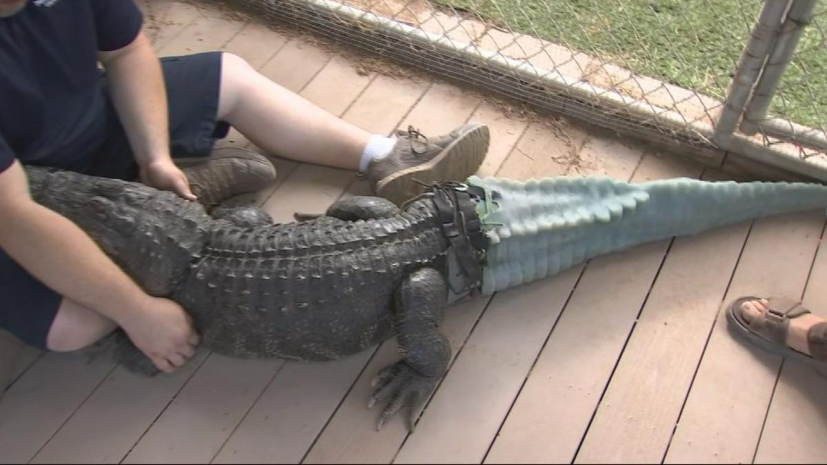 Alligator from Phoenix Herpetological Society gets a prosthetic tail