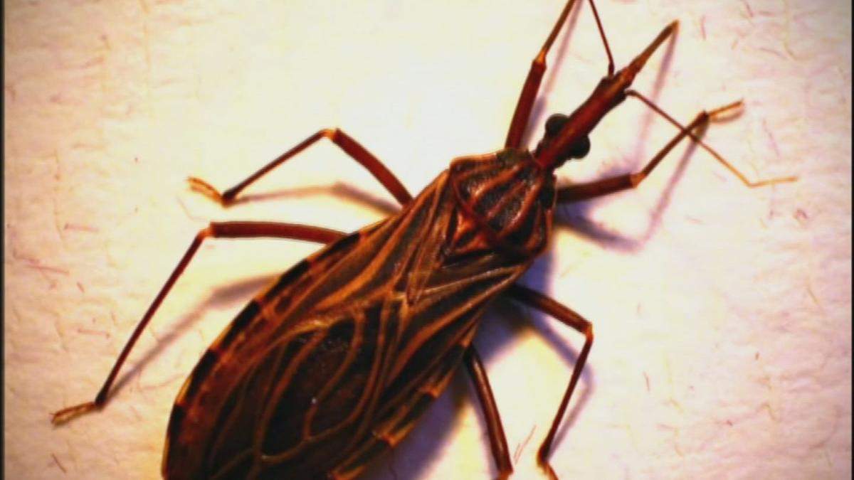 Kissing bug disease more dangerous than thought, study finds