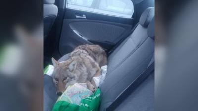 After hitting a dog with his car, a Canadian man drove it to safety. Turns out it was a coyote