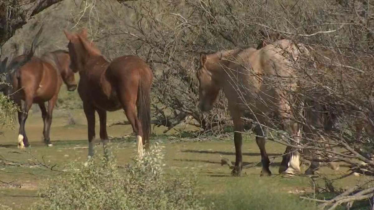 Efforts to control the population of the Salt River herd are underway.