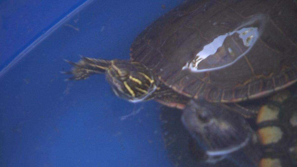 Phoenix Zoo trapping turtles that don't belong in pond
