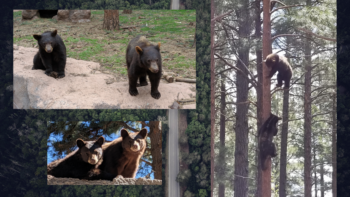Bearizona is marking the one-year anniversary of the rescue of four orphaned bear cubs.