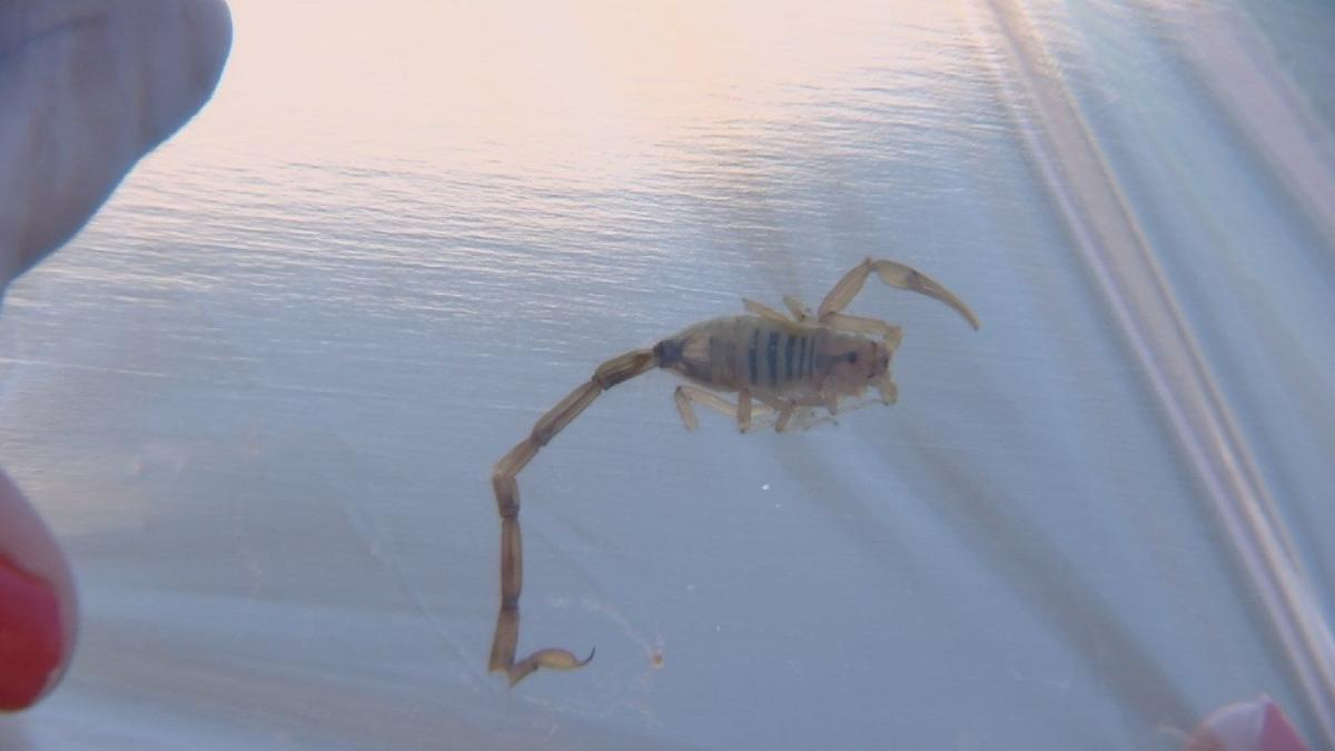 Ahwatukee grandmother stung by scorpion in her bed