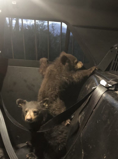 Critters taken safely into custody after crash killed their mama on bear on SR-77 at Dudleyville.