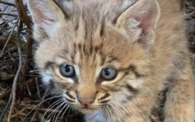 a man in Tucson was bitten while trying to return a bobcat kitten to its family