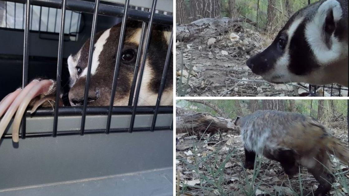 Badger rescued from Mesa garage 'thankful' be be released back into wild