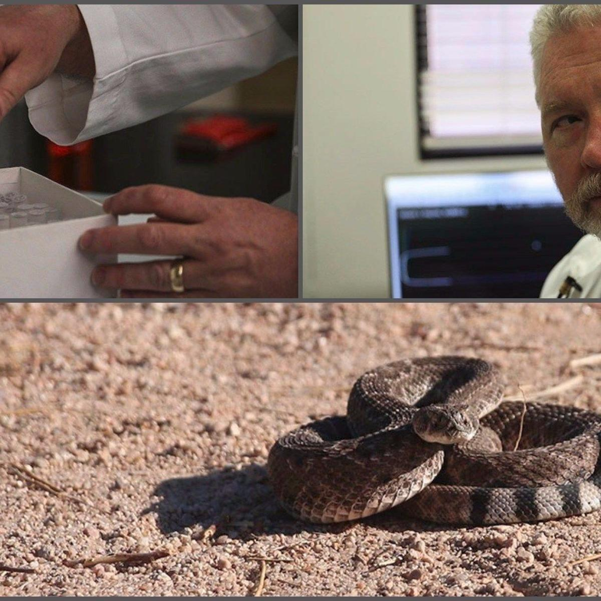 UA doctor's drug could buy time between rattlesnake bite