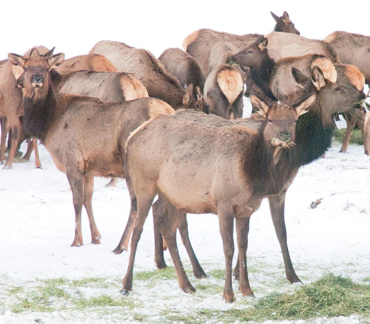 120619-REC_Elk-Cows@ElkhornSite-91_jcFile.jpg