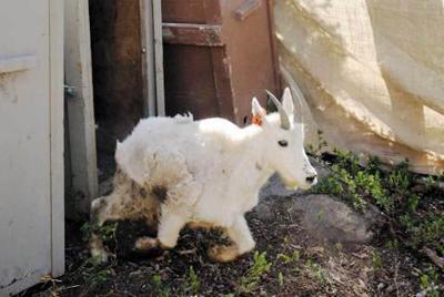 Need goats? Baker's got 'em