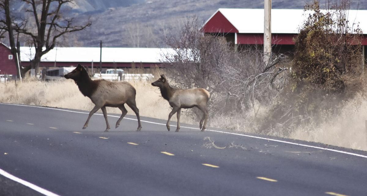 Elk on road.jpg